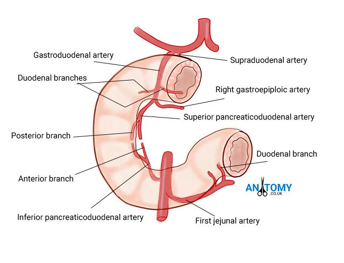 Duodenum Anatomy Function Location Pictures Significance
