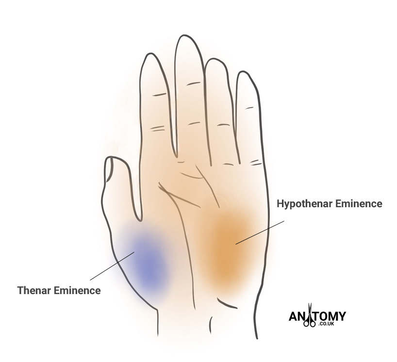 Thenar Eminence - Anatomy, Pain, Atrophy & Pictures